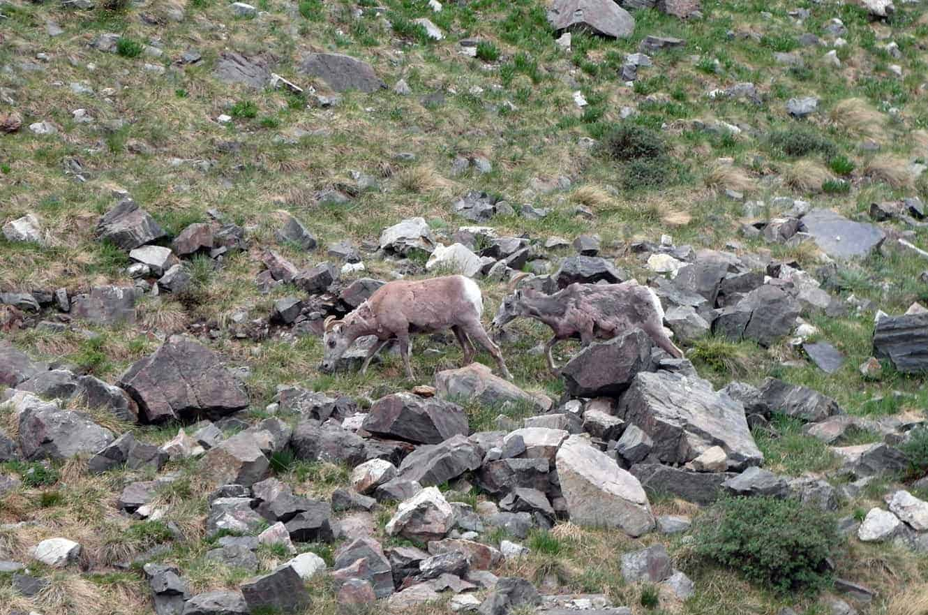 taos-new-mexico-big-horned-sheep-01