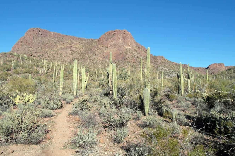 saguaro-01