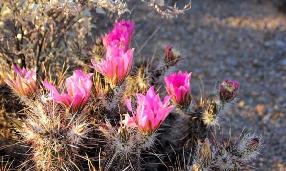 Hedgehog cactus Echinocereus in bloom with pink flowers