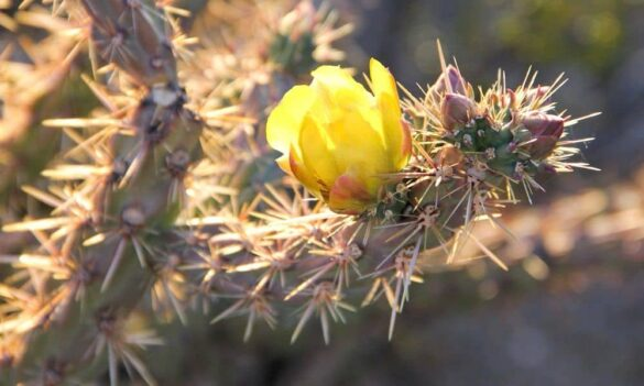 Another Cholla in bloom