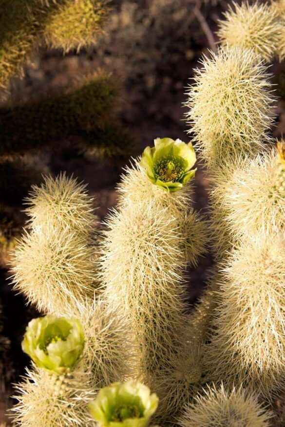 Jumping Cholla in bloom