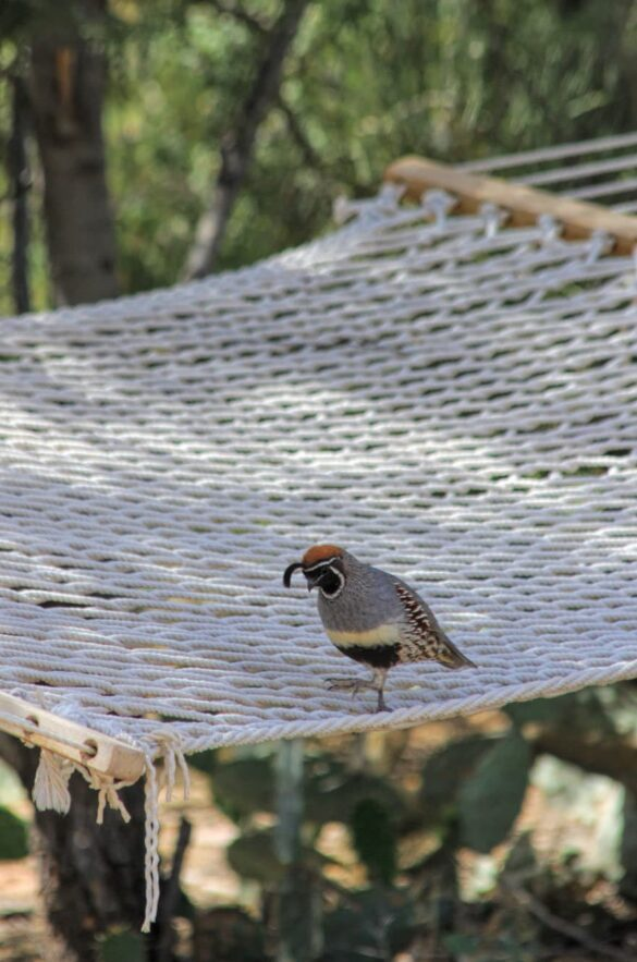 Gambel's Quail hanging out.