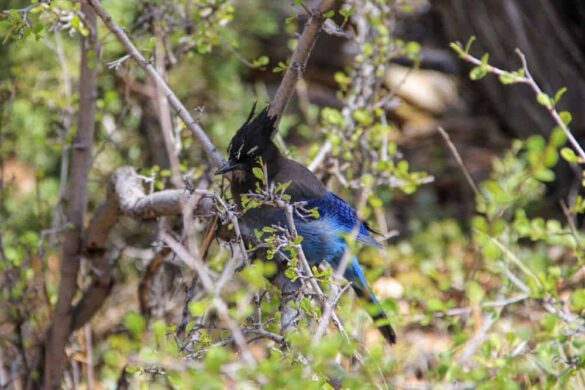 A hungry Steller's Jay